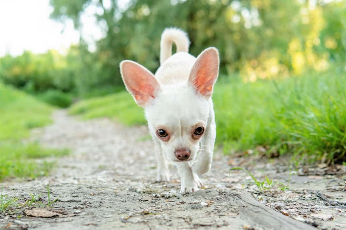 Getting A Chihuahua Puppy For Sale